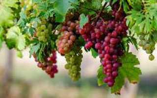 Как сажать виноград осенью на кубани