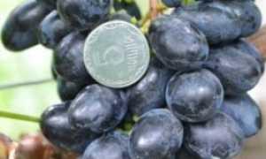 Виноград Ласточка: что нужно знать о нем, описание сорта, отзывы