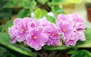 Как выращивать и размножать сенполии, или узамбарские комнатные фиалки