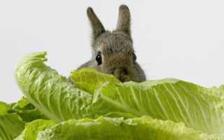 Давать кроликам капусту можно, какие виды будут исключением, норма в день
